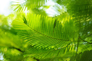 Tree. Acacia Posters - Luscious Green Light. Acacia Tree Poster by Jenny Rainbow
