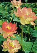 Lotus Leaves Posters - Luscious Lotus Poster by Elvira Butler