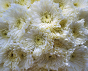 Soil Photo Posters - Luscious White Chrysanthemum  Poster by Debra  Miller