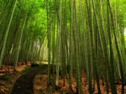 Bamboo Photo Posters - Lush Bamboo Forest Poster by Yali Shi