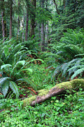 Olympic National Park Prints - Lush rain forest in Olympic National park Print by Pierre Leclerc