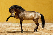 Buckskin Art - Lusitano Stallion by Carol Walker