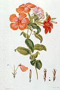 Red Leaf Paintings - Lychnis coronaria by Leopold Trattinick