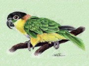 Flyer Drawings Posters - Lynnes Parrot Poster by Barbara Walker