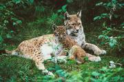 Lynxes Photos - Lynx And Young by Philippe Henry