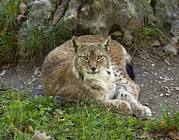 Lynx Photos - Lynx by Bob Gibbons