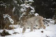 Prowling Posters - Lynx In The Snow Poster by Richard Wear