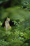 Wildcats Framed Prints - Lynx In Woodland Framed Print by Norbert Rosing