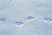 Lynx Photos - Lynx Paw Prints by Alan Sirulnikoff