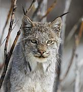 Lynx Photos - Lynx Portrait by Tim Grams