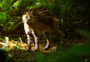 Bobcat Art Prints - Lynx rufus Print by David Lee Thompson
