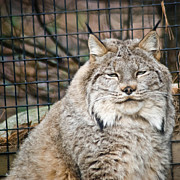 Lynx Photos - Lynx by Trish Tritz