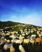 Stood Photos - Maam Cross, Co Galway, Ireland Sheep by The Irish Image Collection