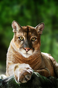 Mountain Lion Framed Prints - Mac Framed Print by Big Cat Rescue