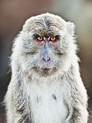 Angry Face Framed Prints - Macaque portrait Framed Print by MotHaiBaPhoto Prints