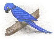 Macaw Drawings - Macaw by Alyssa Glosson
