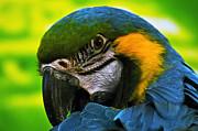 Macaw Print by Cheryl Cencich
