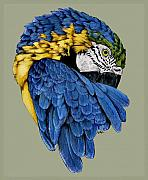 Macaw Drawings - Macaw by Crystal Rolfe