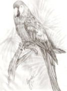 Exotic Drawings - Macaw by Gayatri Ketharaman