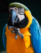 Blue And Gold Macaw Prints - Macaw Print by Harry Spitz