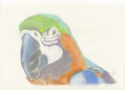 Macaw Drawings - Macaw by Jacqueline Essex