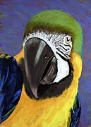 Macaw Painting Framed Prints - Macaw Framed Print by Linda Hiller