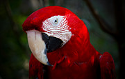 Macaw Art Print Posters - Macaw Poster by Mark Andrew Thomas