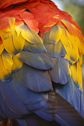 Bright Color Posters - Macaw Parrot Plumes Poster by Adam Romanowicz