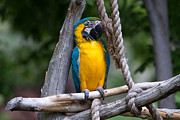 Bird Photography Photos - Macaw Parrot Relaxing by Katie Dees