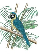 Macaw Drawings - Macaw by Richard Freshour