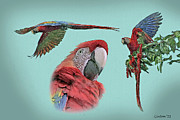 Scarlet Macaw Prints - Macaw Sketch Print by Larry Linton
