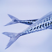 Mackerel Posters - Mackerel Fish Tails Poster by Cristina Pedrazzini