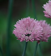 Chives Framed Prints - Macro Chives Framed Print by Marjorie Imbeau
