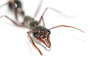 Pincers Posters - Macro Image Of The Head Of A Bull Ant Poster by Brooke Whatnall