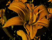 Gordon H Rohrbaugh Jr - Macro Lily