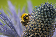 Beeswax Posters - Macro of a bee on a Thistle Poster by Zoe Ferrie