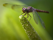 Dragonfly Eyes Prints - Macro of a Dragonfly - focus stacked image Print by Zoe Ferrie