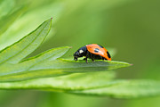 Longhorn Photos - Macro Of Coccinella Septempunctata by Yuji Takahashi