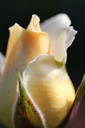 Light And Dark  Prints - Macro Peach and White Rose Bud Print by Jennie Marie Schell