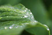 Adam Long Digital Art - Macro photo of water drops on green hosta leaf by Adam Long