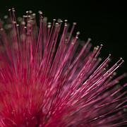 Macro Photograph Of A Calliandra Flower. Print by Zoe Ferrie