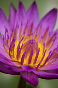 Aquatic Plants Prints - Macro photograph of a water lily - portrait version Print by Zoe Ferrie