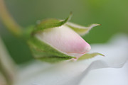 Rose Bud Framed Prints - Macro Pink Rosebud Flower Framed Print by Jennie Marie Schell