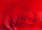 Nature Center Posters - Macro Red Rose Poster by Svetlana Sewell