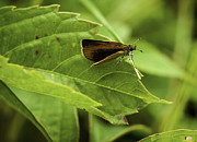 Winged Art - Macro Skipper by Thomas Young