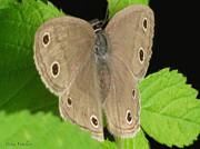 Macro Tan Butterfly Print by Debra     Vatalaro