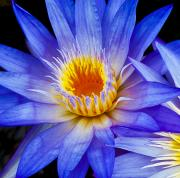 Water Filter Art - Macro Waterlily by Joe Carini - Printscapes