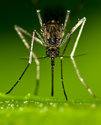 Awesome Photo Originals - Mad Mosquito by Jeramie Curtice