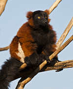 Beautiful Eyes Posters - Madagascar Red-Ruffed Lemur Poster by Jeffrey Campbell