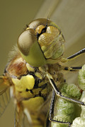 Yellow Dragonfly Posters - Made By Nature Poster by Andy Astbury